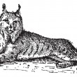 Stock Vector: Lynx or Bobcat or Lynx lynx, vintage engraving