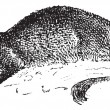 Mongoose or Herpestidae, vintage engraving — 图库矢量图片
