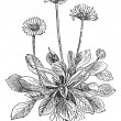 Common Daisy or Bellis perennis, vintage engraving — ベクター素材ストック