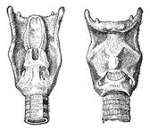 Kupferstich von Kehlkopf oder Kehlkopf, vintage — Stockvektor