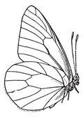 Lepidóptero o lepidópteros, vintage grabado — Vector de stock