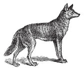 Gray Wolf or Canis lupus, vintage engraving — Stock Vector
