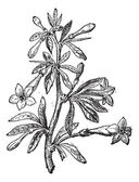 Wolfberry (Lycium europaeum) or goji berry flower and plant, vin — ストックベクタ