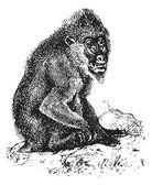 Mandrill or mandrill Mandrillus sphinx, vintage engraving — Stock Vector