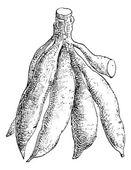 Cassava or Manihot esculenta, vintage engraving — Stock Vector