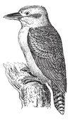 Woodland Kingfisher or Halcyon senegalensis, vintage engraving — Stock Vector