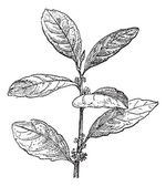 Yerba Mate or Ilex paraguariensis, vintage engraving — 图库矢量图片