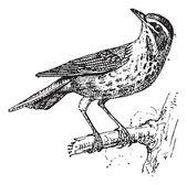 Redwing or Turdus iliacus, vintage engraving — Stock Vector