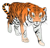 Tygr, ilustrace — Stock vektor