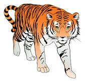 Tiger, illustration — Stock Vector