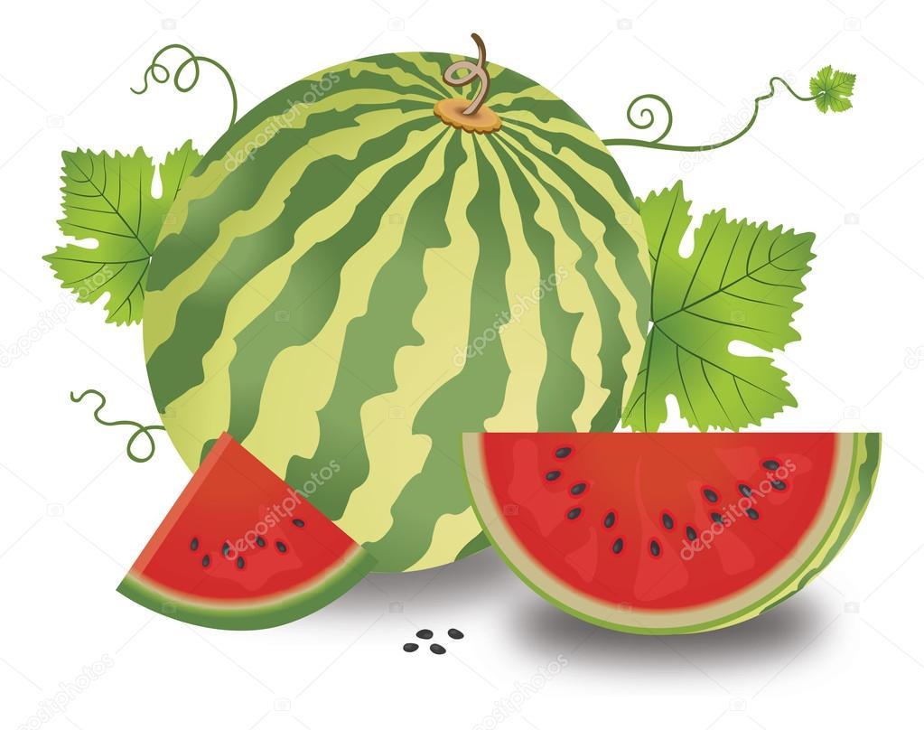 Watermelon, illustration — Stock Vector © Morphart #16201953