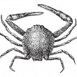 Leucosiid Crab or Leucosiidae, vintage engraving — Stockvectorbeeld