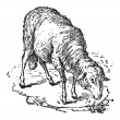Постер, плакат: Sheep or Ovis aries vintage engraving