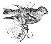 Pine Siskin or Carduelis pinus, vintage engraving — Stock Vector