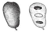 一般的なパパイヤまたはアシミナ triloba、ヴィンテージの彫刻 — ストックベクタ