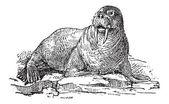 Walrus or Odobenus rosmarus, vintage engraving — Stock Vector