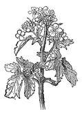Mustard, Sinapis sp., or Brassica sp., vintage engraving — Stock Vector