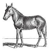 Mule or Equus mulus, vintage engraving — Stock Vector