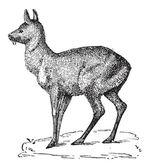 Siberian Musk Deer or Moschus moschiferus, vintage engraving — Stock Vector