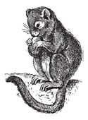Dormouse or Gliridae, vintage engraving — Stock Vector