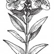 Common Myrtle or Myrtus communis, vintage engraving — Imagen vectorial