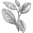 Common Buckthorn or Rhamnus cathartica, vintage engraving - Vettoriali Stock