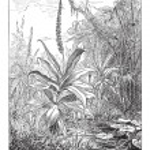Постер, плакат: Pitcher Plant or Nepenthes distillatoria vintage engraving