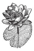 White Lotus or Nymphaea alba, vintage engraving — Wektor stockowy