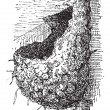 Nest of the Swallow or Hirundinidae, vintage engraving — ベクター素材ストック