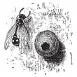 Stock Vector: Nest of Potter Wasp or Eumenes sp., vintage engraving