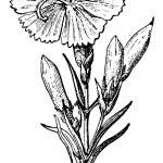 ������, ������: Wild Carnation or Dianthus caryophyllus vintage engraving