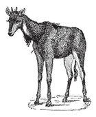 Nilgai, Nilgau or Boselaphus tragocamelus, vintage engraving — Stock Vector