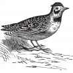 Horned lark or Eremophila alpcstris vintage engraving. — Stock Vector #6709238