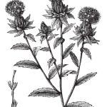 Carthamus tinctorius or safflower vintage engraving — Stock Vector #6721040
