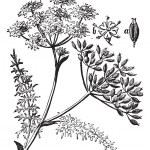 Caraway or Carum carvi vintage engraving — Stock Vector #6721050