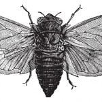Seventeen-Year Cicada or Magicicada cassini or Magicicada septen — Stock Vector #6725313
