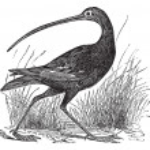 Slender-billed Curlew or Numenius tenuirostris vintage engraving — Stock Vector #6729035