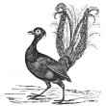 Superb Lyrebird or Menura novaehollandiae vintage engraving — Stock Vector #6751255
