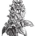 Paulownia or Paulownia sp., vintage engraving — Stock Vector #6756331