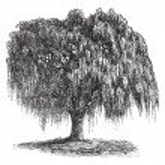 Babylon Willow or Salix babylonica vintage engraving — Stock Vector #6761060
