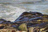 Mořští ptáci krmení na skalách — Stock fotografie