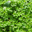 Green three leaf clovers — Stock Photo