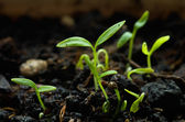 Parsley germinating — Stockfoto