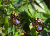 Spegel bee orchid — Stockfoto