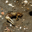 Fiddler Crab next to its hideout hole — Stock Photo