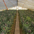 Stock Photo: Pineapple greenhouse series - Fully grown fruit