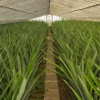 Stock Photo: Pineapple greenhouse series - Grown plants without fruit
