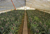 Pineapple greenhouse series - Fully grown fruit — Stock Photo