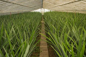 Pineapple greenhouse series - Grown plants without fruit — Stock Photo