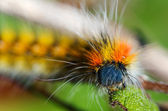 Caterpillar hairy and colourful - Psilogaster loti — Stock Photo